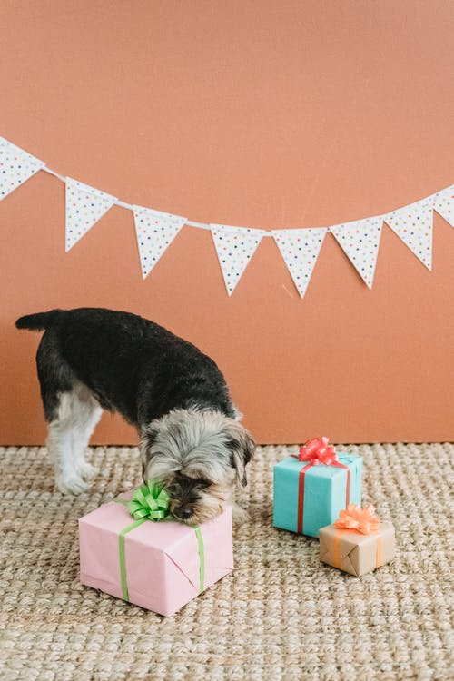 Calm purebred Yorkshire Terrier standing on carpet in room with festive decorations and smelling bright gift box against brown background