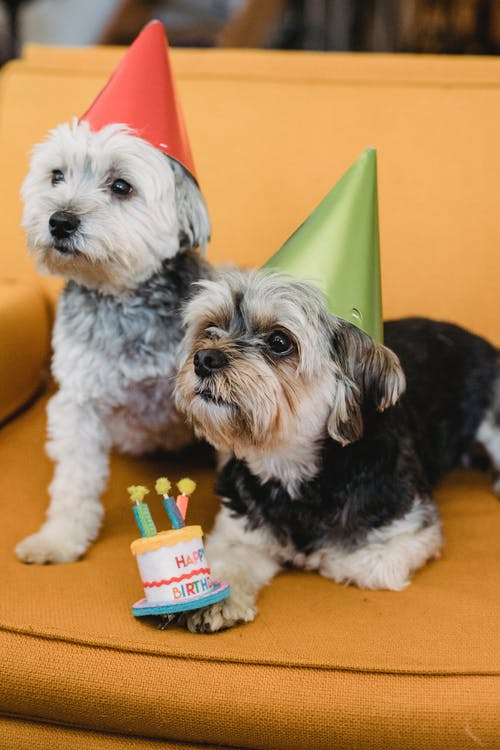 Calm small dogs in party hats