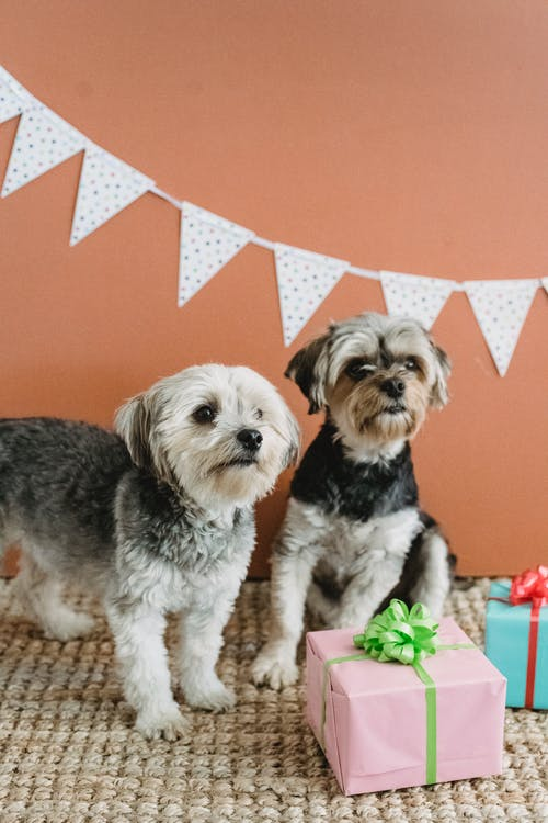 Friendly purebred Yorkshire Terriers resting on carpet with colorful gift boxes in festive room against brown wall