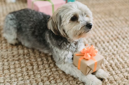 Calm small dog lying with present at home