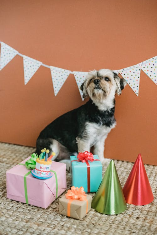Side view of Yorkshire Terrier puppy sitting on floor surrounded with wrapped birthday presents in room decorated with bunting garland