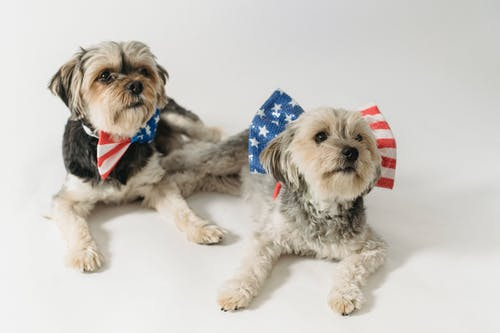 Cute purebred dogs with accessories with American flag