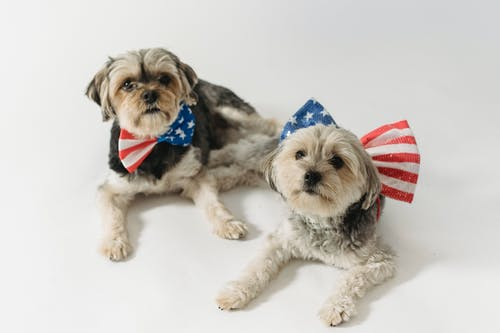 Cute fluffy Yorkshire Terriers with bow ties colored in stripes and stars for USA Independence Day
