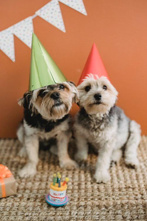 Cute fluffy dogs in cone caps at birthday celebration