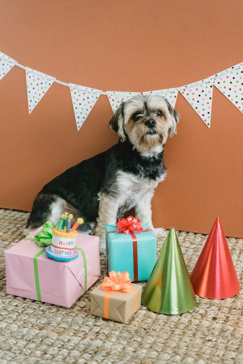 Cute Yorkshire Terrier sitting on floor with present boxes and cone caps in room decorated with flag garland