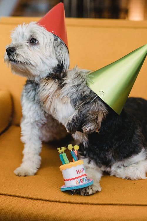 Funny Yorkshire Terrier puppies in cone caps with toy birthday cake on yellow chair