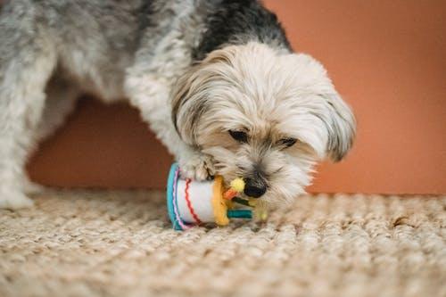 Nieuwsgierig Puppy Bijtstuk Speelgoed Voor Verjaardagsviering