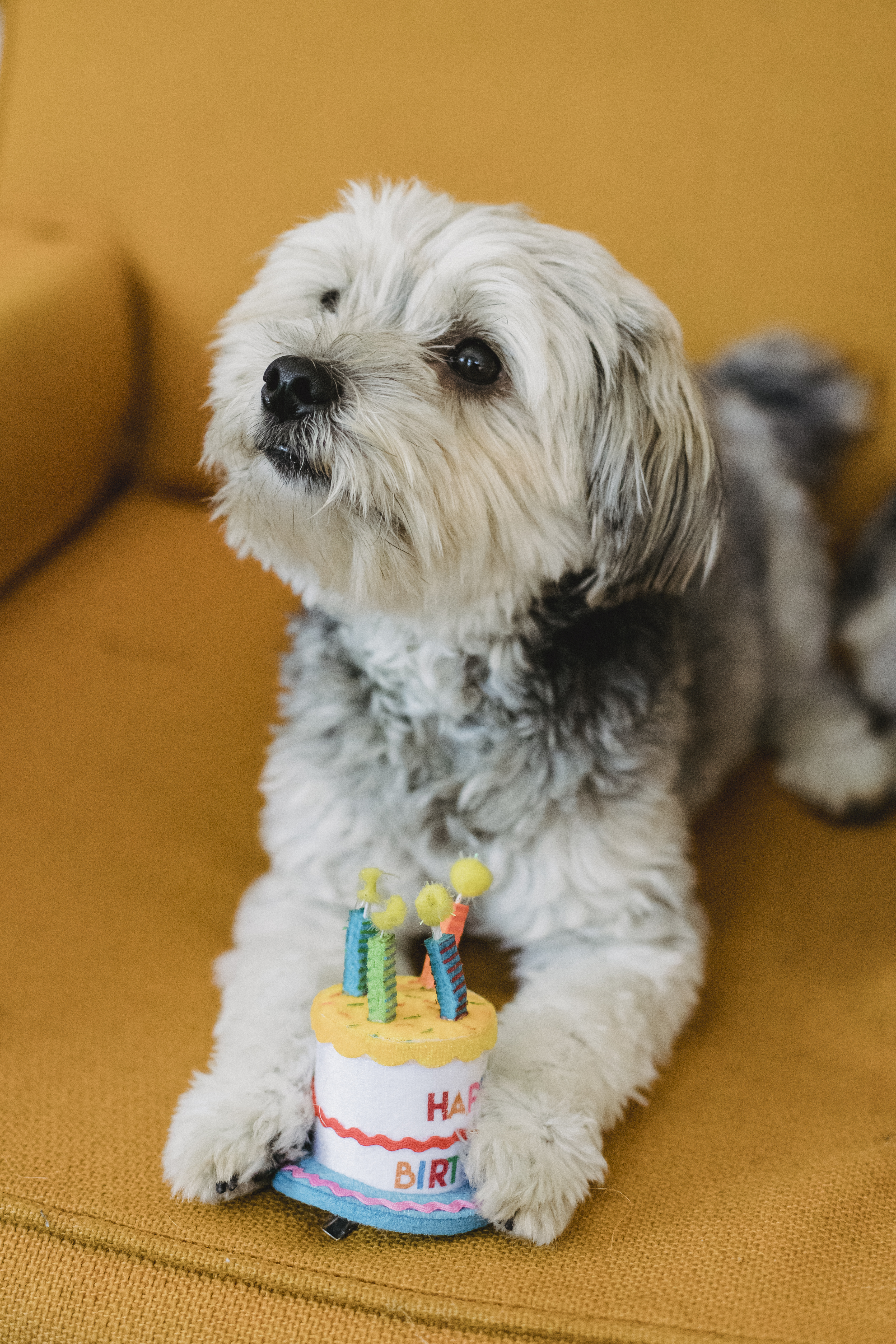 cute puppy with fake birthday cake