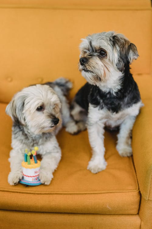 From above of Yorkshire Terriers celebrating birthday with toy cake with candles on soft armchair
