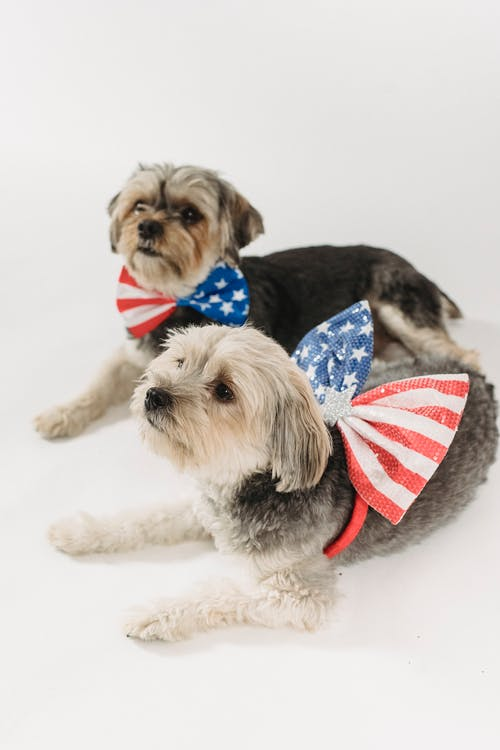 Attentive pedigreed dogs for celebration Independence Day