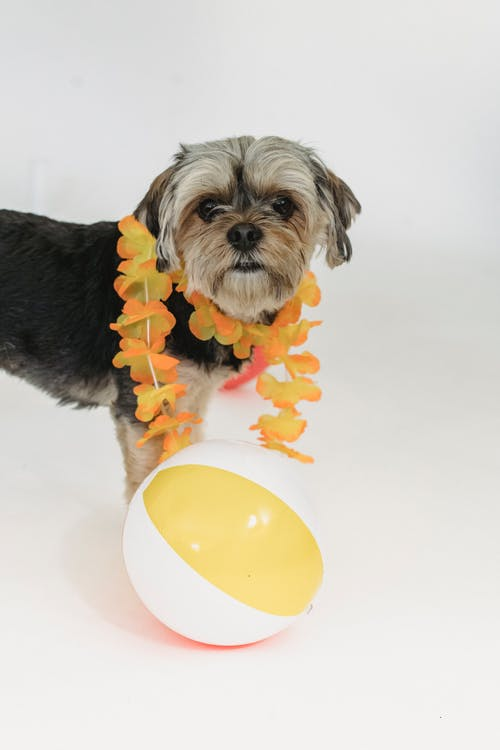Side view of Yorkshire Terrier puppy in flower necklace with beach ball in studio