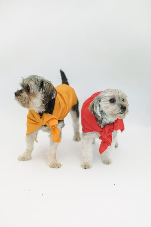 Attentive dogs wrapped in fabric in studio