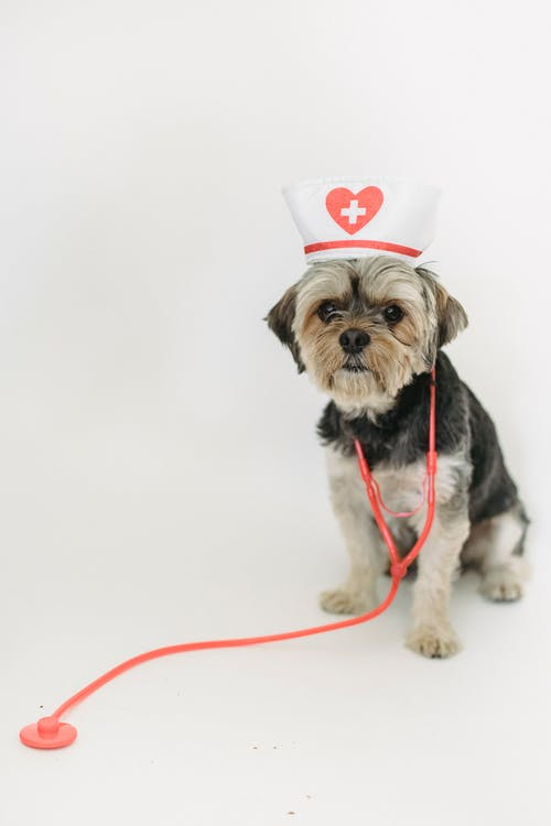 Cute funny fluffy puppy Yorkshire Terrier with toy stethoscope and medical hat against white background