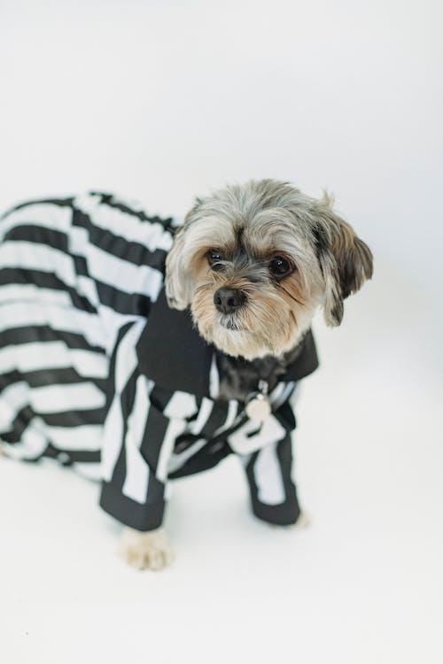 Fluffy purebred dog in clothes in studio