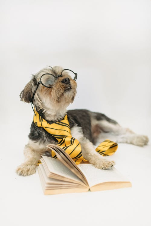 Adorable purebred Yorkshire Terrier puppy dressed in striped tie and eyewear lying in studio with book