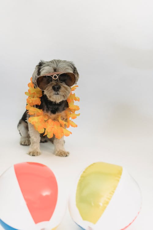 Small purebred dog sitting near beach balls and wearing sunglasses and flower necklace on white background