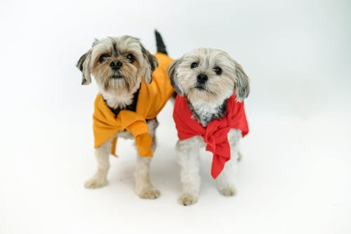 Small purebred dogs in colorful clothes standing together on white background and looking away