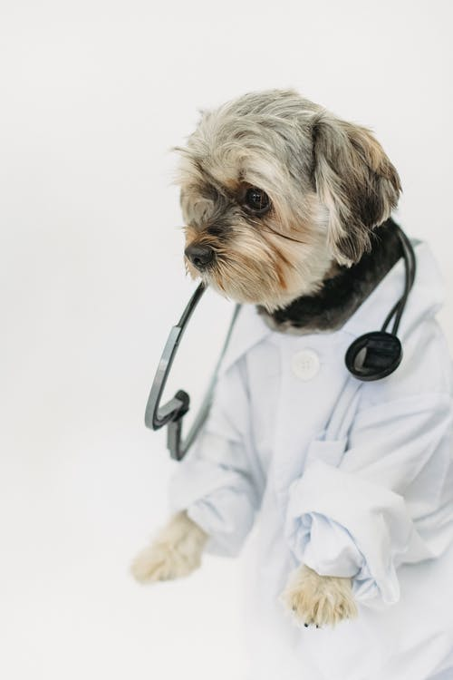 Little purebred dog with stethoscope wearing white medical outfit looking away on white background