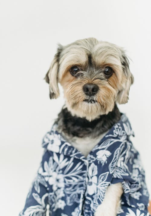Small purebred dog looking at camera while wearing shirt and spending time in light room on white background