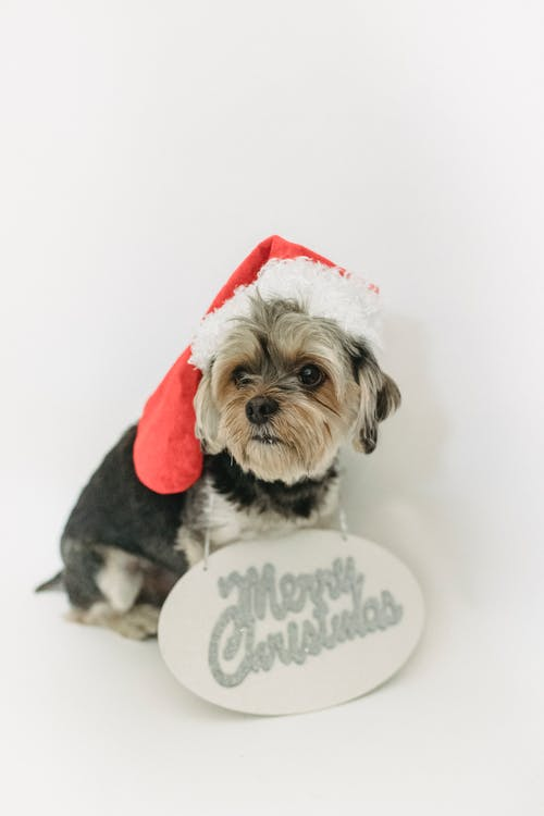 Small dog in Christmas hat sitting in room