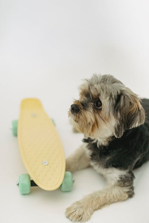 Little purebred dog lying near small longboard in bright room on white background and looking away