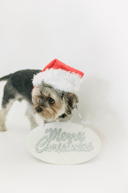 Little dog in Santa hat in studio