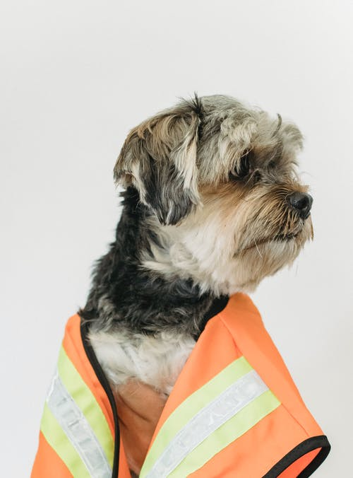 Small purebred dog in light room looking away while wearing in builder vest on white background