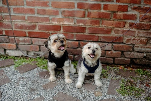 From above cute playful Yorkshire terrier and West Highland White Terrier dogs on leashes siting on ground in courtyard against brick wall