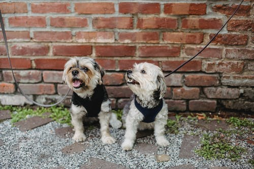 Two Adorable Dogs With Leash Sitting On Ground Besidde A Brick Wall