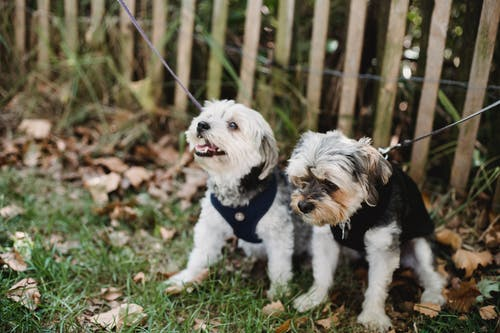 Full length funny Yorkshire Terrier and West Highland White Terrier on leashes sitting on grassy ground near fence in garden