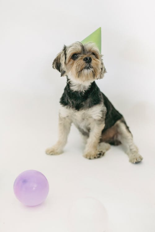 Adorable Yorkshire Terrier in party hat