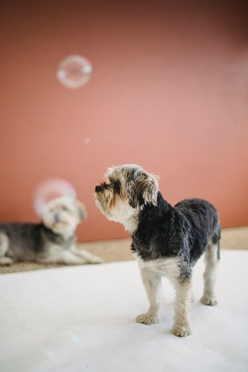 Purebred adorable Yorkshire Terrier dogs looking at soap bubbles floating in light room