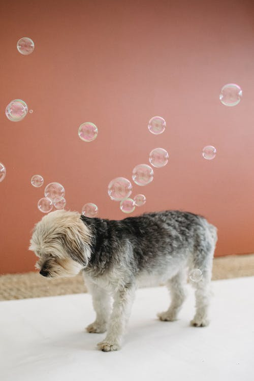 Fluffy Yorkshire Terrier standing under many soap bubbles