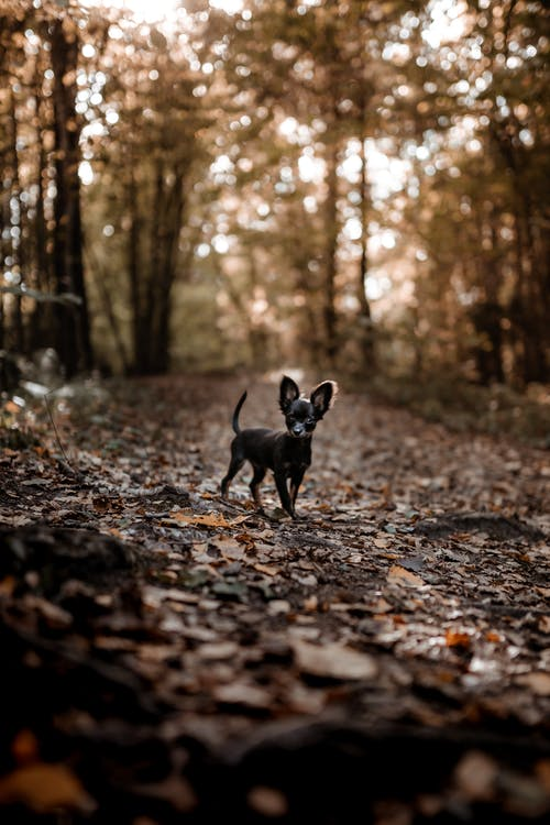 Black Short Coat Small Dog Walking on Dried Leaves on Ground