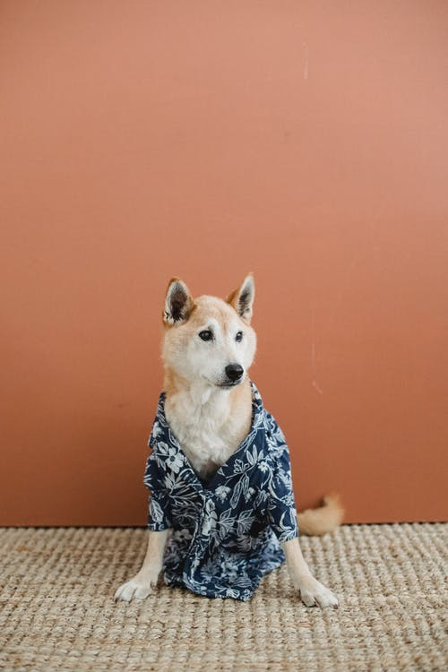 Graceful dog in shirt at home