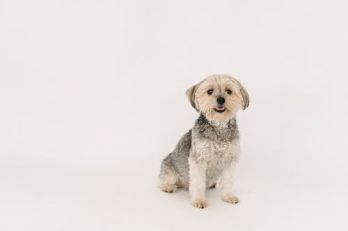 Adorable purebred dog sitting against white background in studio and looking at camera