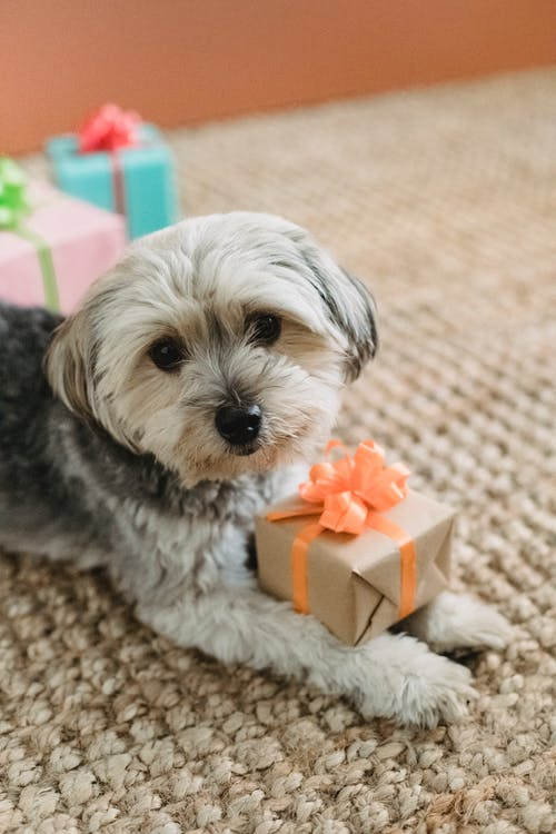 Cute dog with presents at home