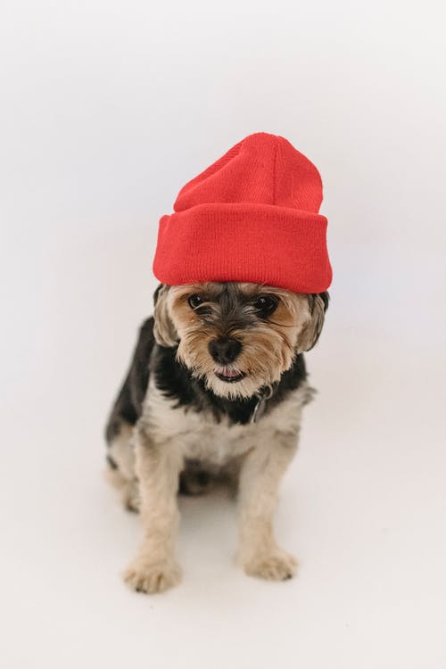 Cute puppy sitting in red hat