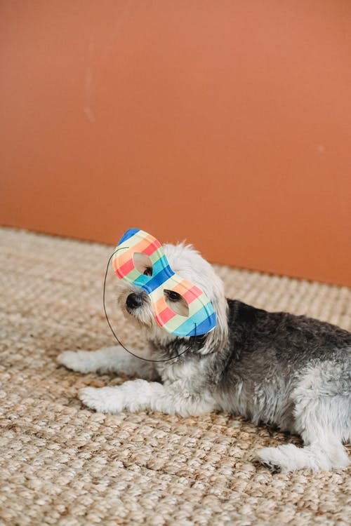 High angle of purebred puppy in colorful masquerade mask resting on soft floor at home