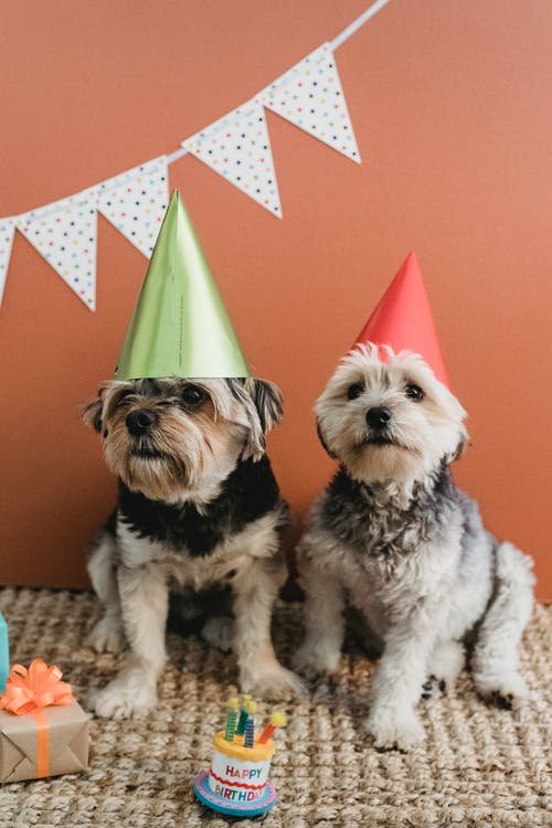 Cute puppies with birthday cones at home