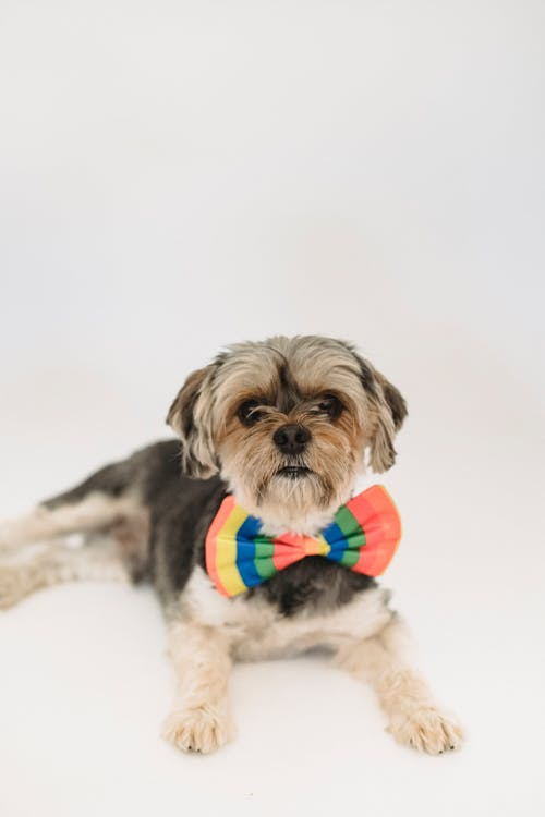 Friendly elegant puppy with colorful bow tie resting in studio and looking at camera