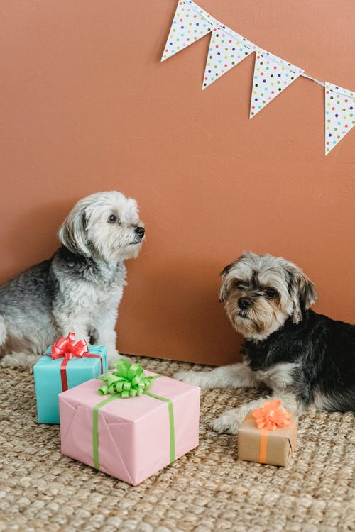 Fluffy puppies resting on carpet near colorful presents and garland for birthday celebration