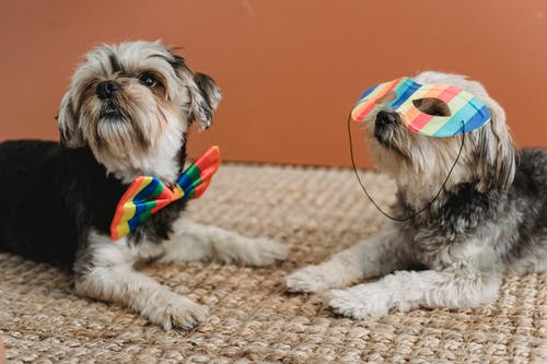 Cute puppies with colorful accessories in room