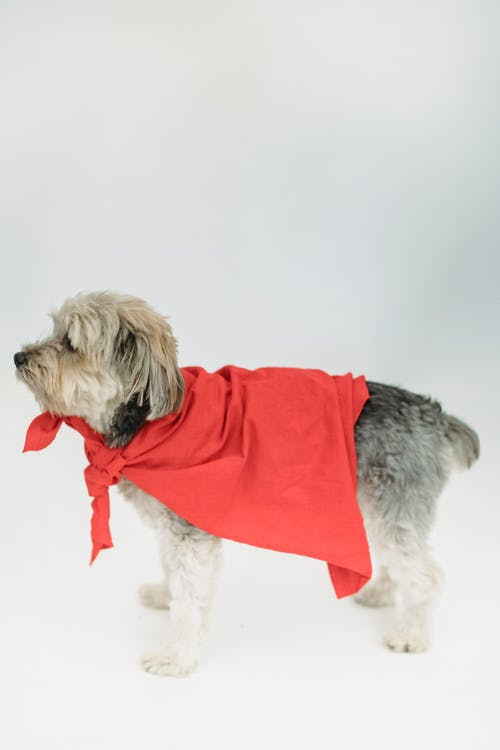 Fluffy purebred puppy in bright red cape standing in studio against white background