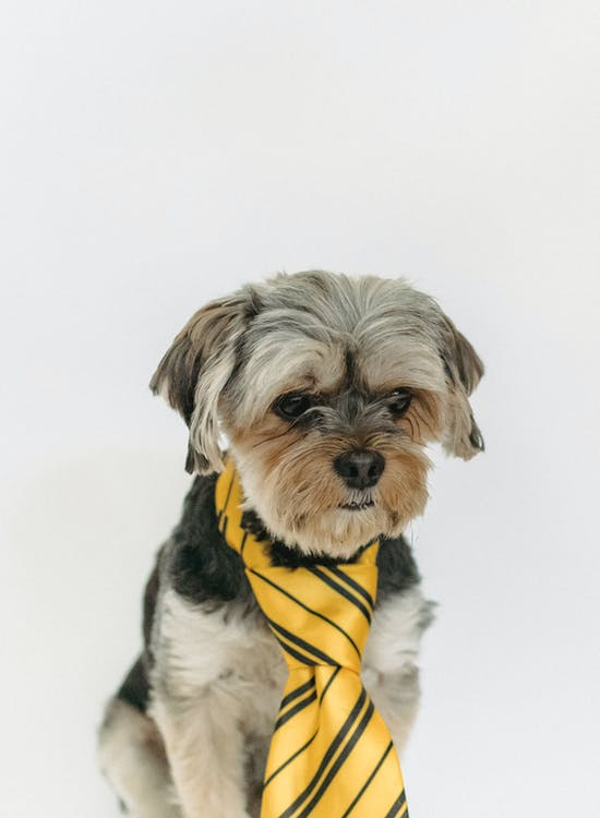 Yorkshire Terrier in bright tie on white background