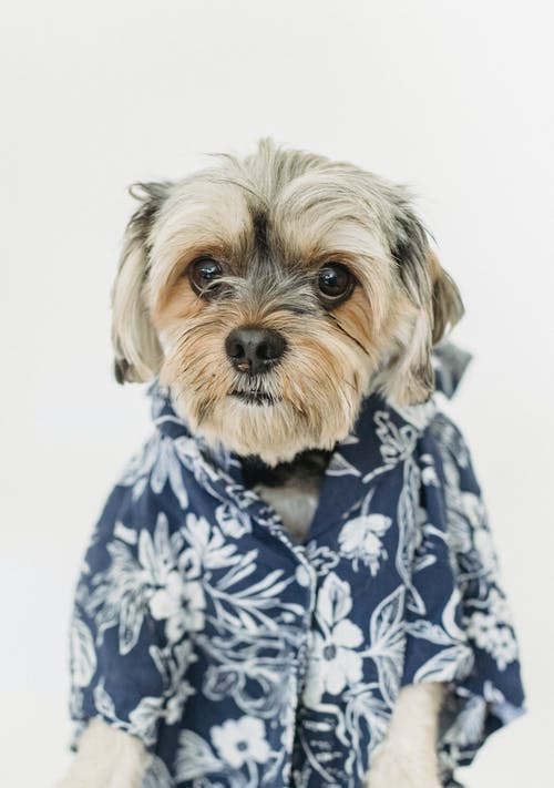 Yorkshire Terrier with fluffy muzzle in wear with flower ornament looking at camera on white background