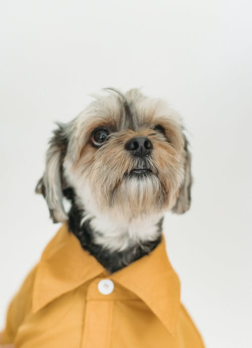Yorkshire Terrier in yellow shirt on white background