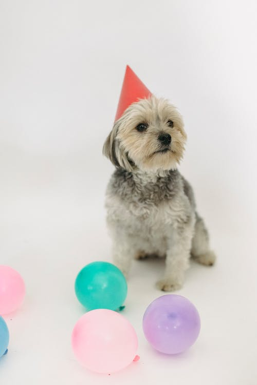 Yorkshire Terrier in cone hat on white background
