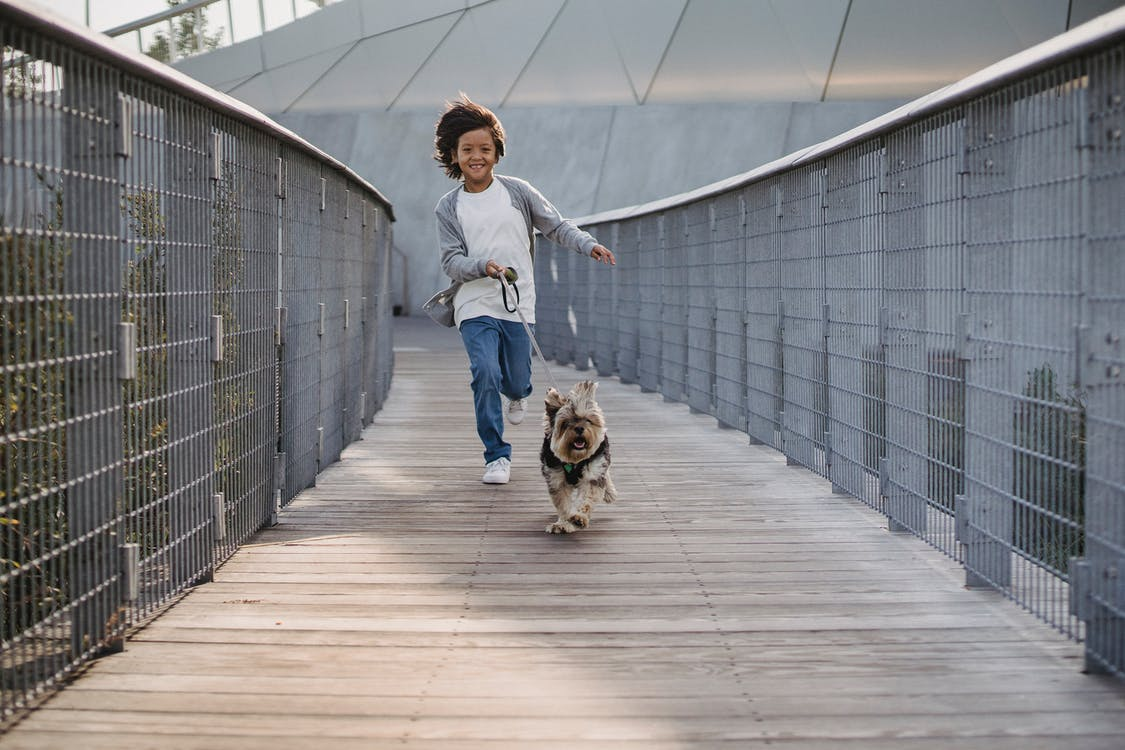 Full body cheerful ethnic boy in casual wear running with funny fluffy Yorkshire Terrier on leash along narrow wooden bridge in park