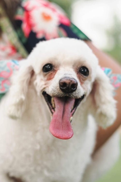 Cute funny white purebred Poodle near crop anonymous woman on blurred background in daytime